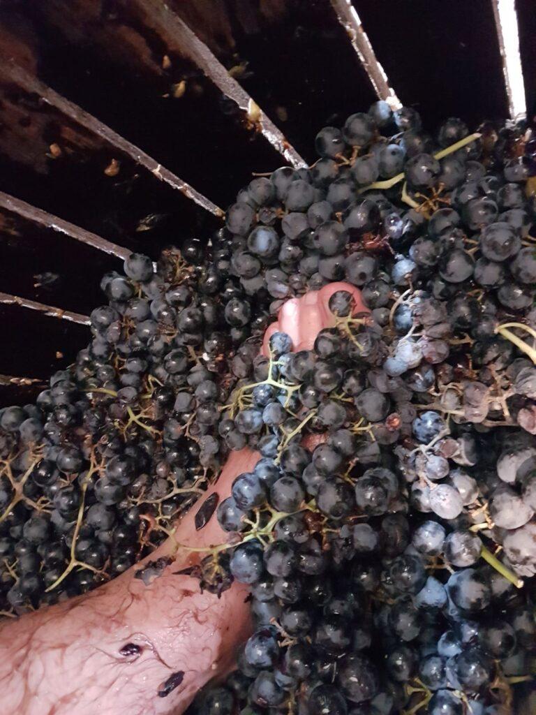 Pisado de la uva.
